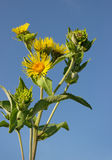 Blooming nard against the blue sky Stock Image