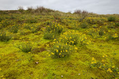 Blooming narrow-leaved ragwort in the dunes at the Belgian coast Stock Photography