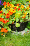 Blooming nasturtium in the garden Royalty Free Stock Photo