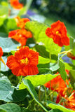 Blooming nasturtium in the garden Royalty Free Stock Image