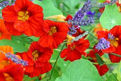 Beautiful red nasturtium in the garden Royalty Free Stock Photography