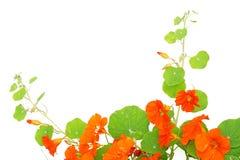 Blooming nasturtium in the garden Stock Photos