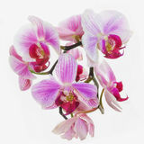 Blooming neon orchids Royalty Free Stock Image