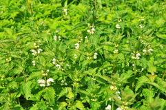 Blooming nettle Stock Photos
