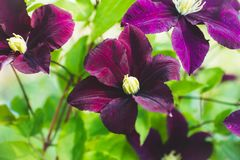 Blooming `Niobe` clematis in the garden Royalty Free Stock Image