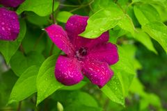 Blooming `Niobe` clematis in the garden Royalty Free Stock Photo