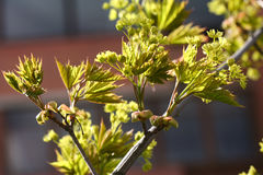Blooming Norway Maple (Acer Platanoides) Against Blue Sky, Backlite Stock Photography
