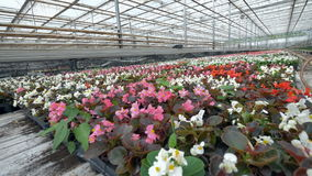 Blooming nursery flowers taken out in rows for easy shipping. 4K. stock video