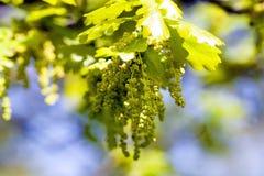 Blooming oak . spring Royalty Free Stock Image