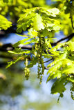 Blooming oak , spring Royalty Free Stock Photography