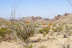 Blooming Ocotillo in Chisos Mountain Basin Royalty Free Stock Images