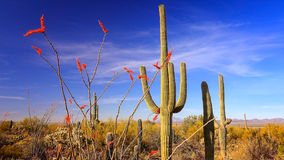 Blooming Ocotillo and Saguaro Cactus in Saguaro National Park Stock Photos
