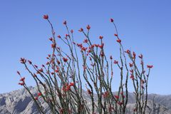 Blooming Ocotillos Stock Images