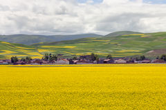 Blooming oilseed field Royalty Free Stock Image