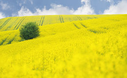 Blooming Oilseed Rape field with tree Stock Images
