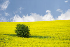 Blooming oilseed rape field with tree Stock Photography