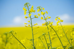 Blooming oilseed rape on yellow. Royalty Free Stock Images