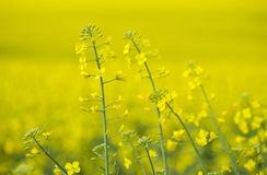 Blooming oilseed rapes Stock Photography
