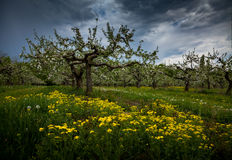 Blooming old apple orchard Stock Image