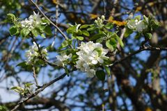 Blooming old apple tree in sunny spring day. Beautiful white flowers. stock photography