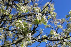 Blooming old wild apple tree on a background of the blue spring sky royalty free stock images