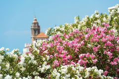 Blooming Oleander against the background of the church of Sant Bartomeu and Santa Tecla in Sitges, Barcelona, Catalunya, Spain Royalty Free Stock Photography