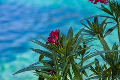 Blooming Oleander over blue green sea water stock photos