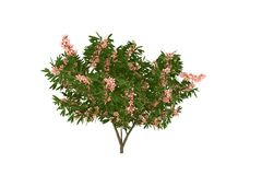 Blooming oleander tree Stock Photos