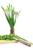 Blooming onion. Sliced scallions on the wooden plate with knife. Blooming onion isolated on white background Royalty Free Stock Photos
