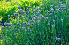Blooming onion batun in the summer garden. View blooming onion batun in the summer garden Royalty Free Stock Image