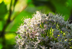 Blooming Onion Flower. Allium family, a plant that naturally flowers once every two years Stock Photo