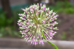 Blooming onion macro. Bright pink blooming onion macro Royalty Free Stock Photos