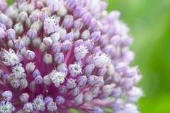 Blooming onion, macro close up. Mock up. Summertime, springtime Stock Photos