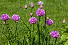 Blooming onion shallots close-up  spring sunny day Stock Photo