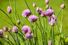 Blooming onion shallots close-up  spring sunny day Stock Images