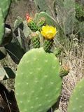 Blooming Opuntia cactus. Prickly pears stock photo