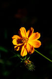 A blooming orange color flower Royalty Free Stock Image