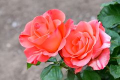 Blooming orange colored roses in garden stock image