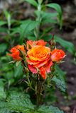 Blooming orange English rose in the garden after the rain.  Royalty Free Stock Photo