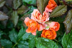 Blooming orange English rose in the garden after the rain.  Stock Photo