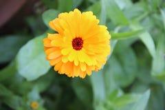 Blooming orange flowers Stock Image