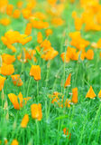 Blooming  orange flowers Royalty Free Stock Photo