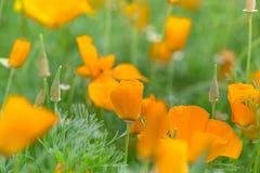 Blooming  orange flowers Royalty Free Stock Images