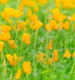 Blooming  orange flowers Stock Photos