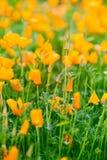Blooming  orange flowers Royalty Free Stock Photo
