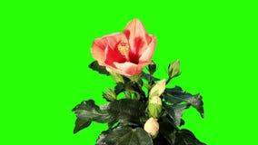 Blooming orange Hibiscus flower buds green screen, FULL HD. (Hibiscus Tahitian Orange Rainbow) stock footage