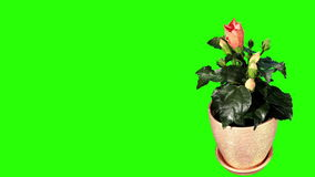 Blooming orange Hibiscus flower buds green screen