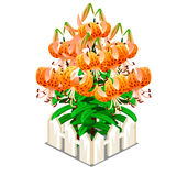 Blooming orange lilies in the middle of fence. Blooming orange lilies in the middle of white decorative fence. Vector flowers on white background in cartoon Royalty Free Stock Photography
