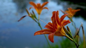 Blooming Orange Lily flowers in the city park stock footage