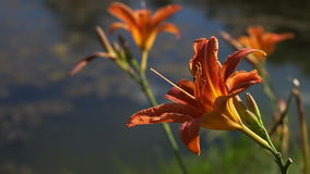 Blooming Orange Lily flowers in the city park stock video footage